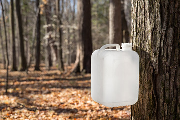 Maple Syrup Tapping Using a White Collection Bottle