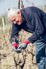 Senior man pruning grape in vineyard, active retirement,