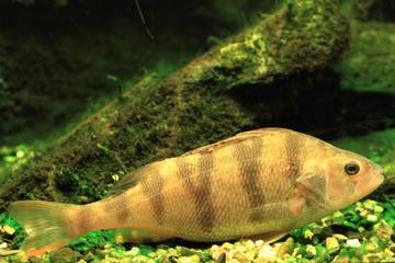 small czech  fish