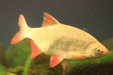 small carp fish