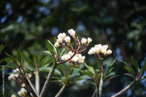 In de dag Frangipani Plumeria