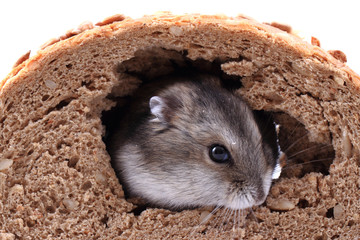 dzungarian mouse and the bread