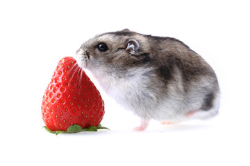 dzungarian mouse and fresh strawberry isolated