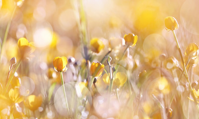 The yellow  wildflowers of a buttercup