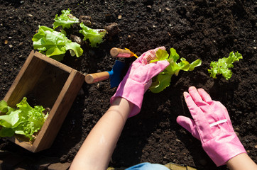 Woman planting lettuce, gardening concept