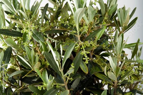 Tuinposter Olijfboom Olivenbaum Laubblätter