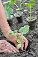 farmer planting a cucumber seedling in series, 4 of 4