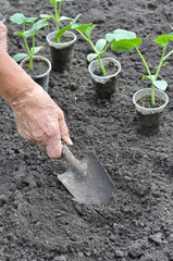 farmer planting a cucumber seedling in series, 1 of 4