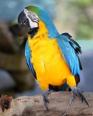 Photo blue macaw