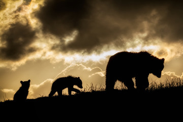 Brown Bear and Cubs in Sunset
