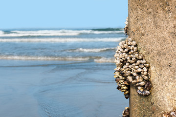 Group of gooseneck goose barnacle crustaceans on concrete pylon