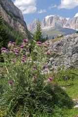 cardo lanoso (cirsium eriophorum)