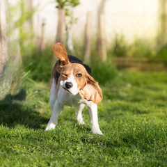 Funny Beagle dog shaking his head