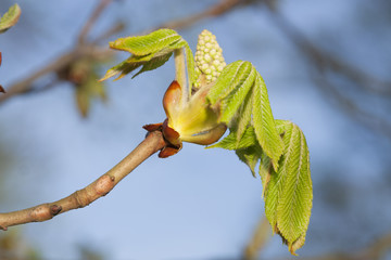 Chestnut leaves in early springtime