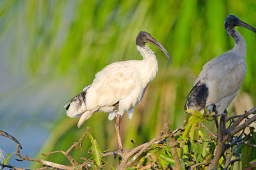 Australian White Ibis with warm Light, Queensland