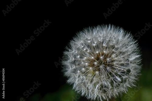 Dandelion © y2nomad