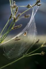 クモの巣 縦