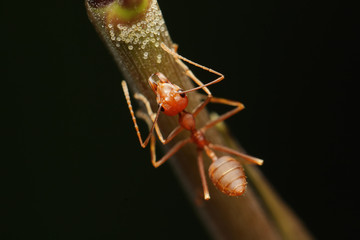 Ant walk on twigs in the garden of Thailand.