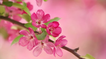 Pink apple flower