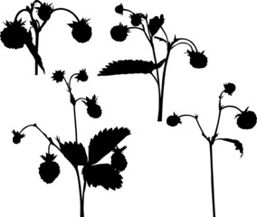 set of four wild strawberry branches silhouettes isolated on wh