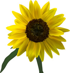 bright yellow sunflower bloom illustration