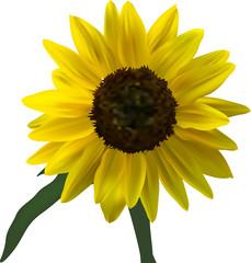 bright yellow sunflower bloom illustration