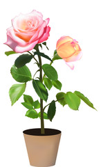 rose with twoo blooms in pot isolated on white