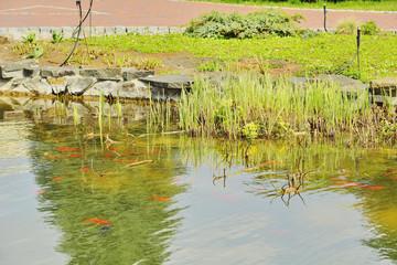 Фрагмент озера с красными рыбками