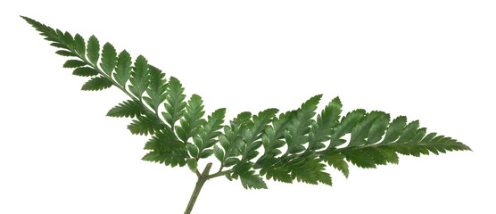 dark green isolated fern branch