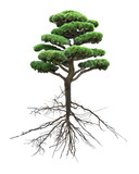 bonsai green pine with root on white