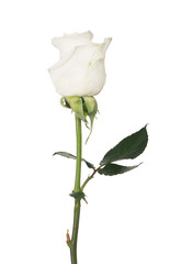 isolated white color rose with three green leaves