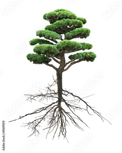 Fotobehang Bonsai bonsai green pine with root on white