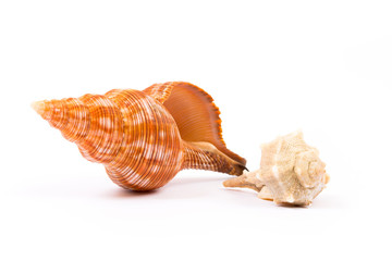 Isolated seashell on white background