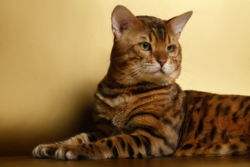 Bengal Cat on Gold background and Looking back