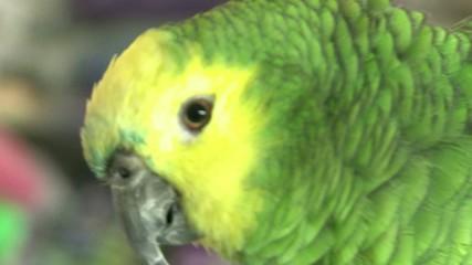Green Parrot in a Bird Shop-001