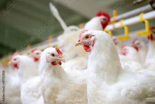 Foto op Canvas Kip White chickens farm