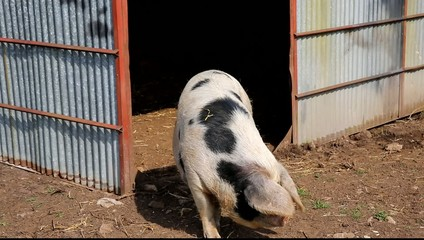 Spotted sow pig Pietrain breed inquisitive and questioning