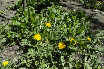Green bush dandelion  with yellow flowers