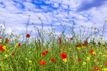 meadow with poppys flowers under blue sky