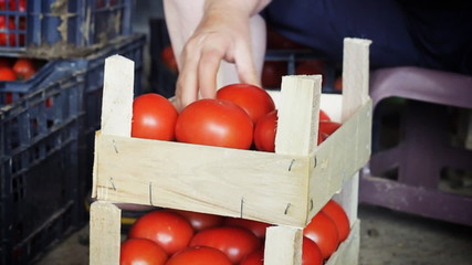 hands enqueueing tomatoes into wooden harvest box