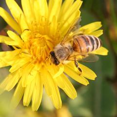 ape raccoglie il nettare su fiori di tarassaco