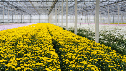 Glasshouse of a cut flower nursery with yellow blooming chrysant