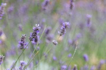 Lavender Flowers in Provence Region, France