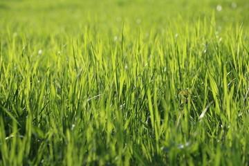 Champ d'herbes soleil rasant