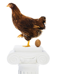 Egg laying champion hen
