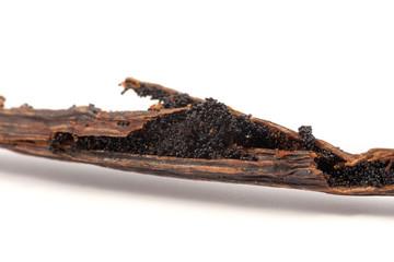 Vanilla beans on cracked stick