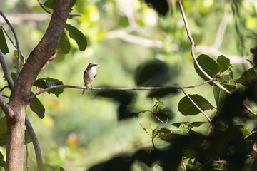 young brown shrike catching branch in southern forest