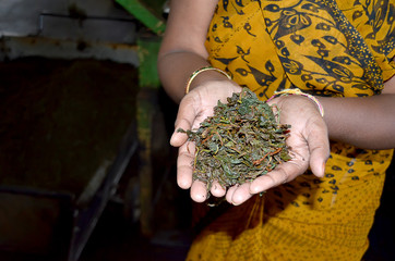 indian woman holding green tea leaves in her hands