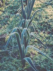 Frozen Leeks in Garden