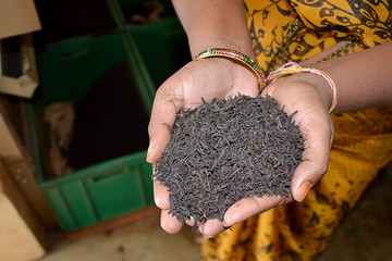 black tea leaves in hand of indian woman